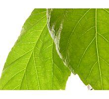 Hibiscus Leaves Photographic Print