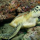 Green turtle - Chelonia mydas by Andrew Trevor-Jones