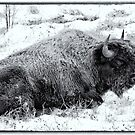 Northern Woodland Buffalo by peaceofthenorth