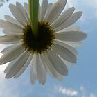 One daisy by LlandellaCauser