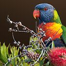 Rainbow Lorikeet, Clovelly, Sydney by Erik Schlogl