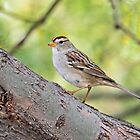 Immature White-Crowned Sparrow  by Saija  Lehtonen