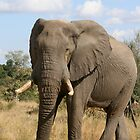 African elephant 1 by Rob Chiarolli