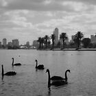 Swans in Albert Park by kendall1