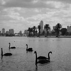 Swans in Albert Park by kendall1