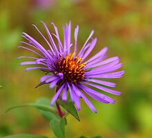 New England Aster by Kayleigh740