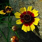 Coreopsis on the Rock by Deb Fedeler