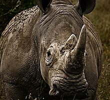 White Rhino - Face to Face by Henry Jager