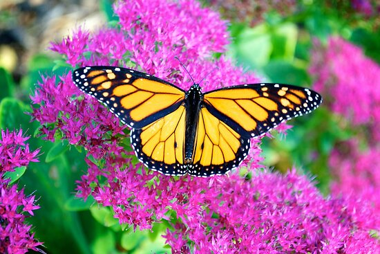 Beautiful Monarch by lindsycarranza