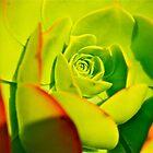 green succulent by Jessica Karran