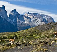 Where Guanaco roam free, Torres del Paine National Park by Coreena Vieth