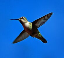 Humming Bird in Flight by Phil Campus