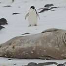 Weddell Seal, Paulette Island, Antarctica by Coreena Vieth