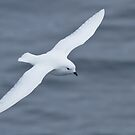 Snow Petrel, Antartica by Coreena Vieth