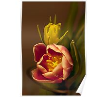 Classical Tulips  Poster