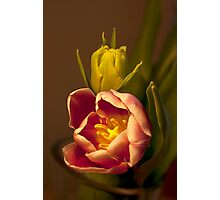 Classical Tulips  Photographic Print