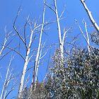 Alpine Ash Forest, Mt Buffalo by brozekcordier