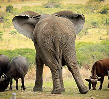 Elephant & Buffalo by ebonyjaynephoto
