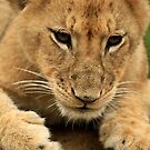 Ready to Pounce Lion Cub by ebonyjaynephoto