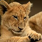 Proud Lion Cub  by ebonyjaynephoto