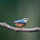 Nuthatch (Sitta europaea) by mispix