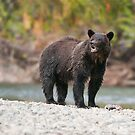Bella Coola Grizzly by Raymond J Barlow