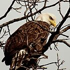 Up Close Bald Eagle by Thomas Young