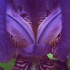 Purple Iris by lindsycarranza