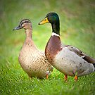 Mr & Mrs Mallard by M.S. Photography/Art