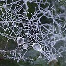 Dew Drops on Spider Web by aussiedi
