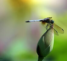 Dragonfly and Lotus by Sabrina Ryan
