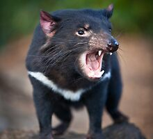 Tasmanian Devil by Doug Thost