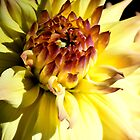 Yellow Dahlia iPhone Case by Helen K. Passey