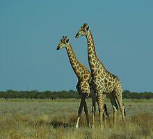 Giraffes by Martina  Stoecker