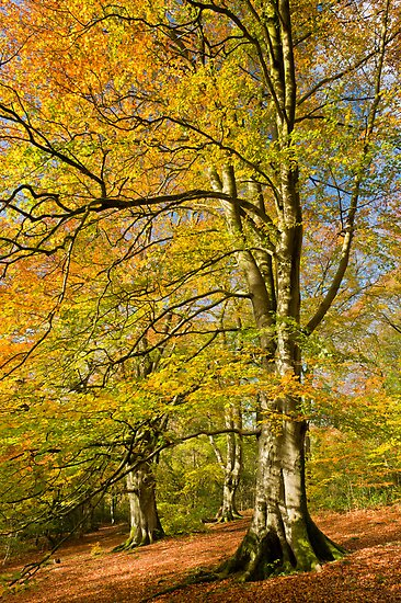 Autumn colour on Crickley Hill - I by Chris Tarling