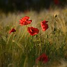 Summer Poppies by Mairead1