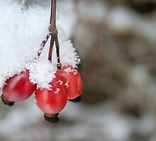Guelder Rose Berries in the Snow by Ann Garrett