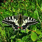 Swallowtail by Venomator