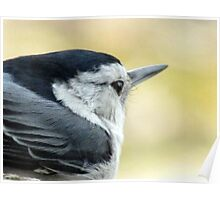 White-breasted Nuthatch (Sitta carolinensis) Poster
