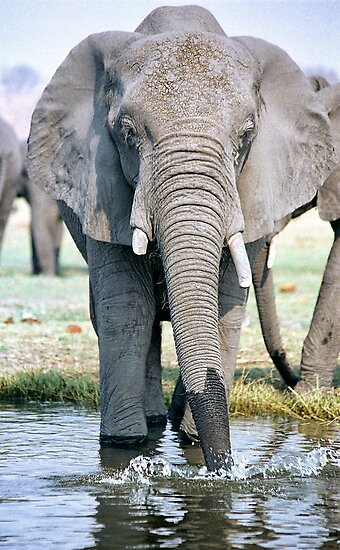 Thirst On The Chobe River by Michael  Moss