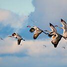 Sandhill Cranes by Jarede Schmetterer