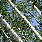 Birches by Dawne Olson