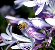 Bee Amongst the Agapanthus II by Andrejs Jaudzems