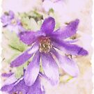 Anemone Blanda by Brenda Boisvert