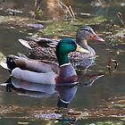 Mallard Duck Couple by Kathy Baccari