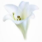 Just the flower by missmoneypenny