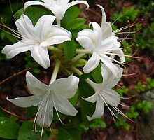 Glowing White Azalea by Betty Mackey
