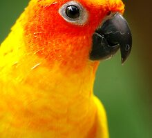 Happy Sun Conure by Tamara  Kenneally