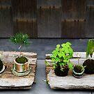 Kyoto bonsai by Skye Hohmann