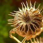Nasturtium Sparkle by Karirose